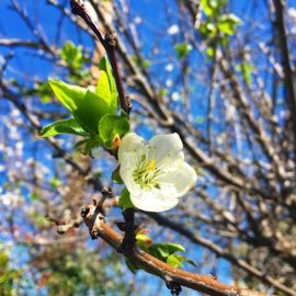 Blooming Apricot Tree | AZCookbook.com