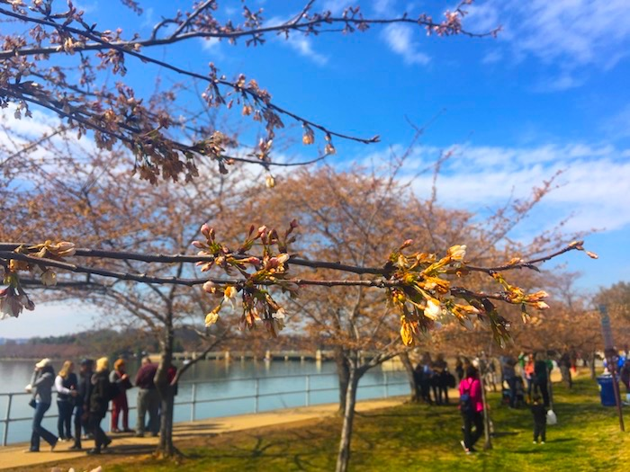 Cherry Blossoms, D.C. | AZcookbook.com
