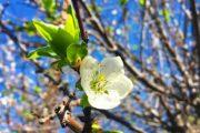 Blooming Apricot Tree | AZCookbook.com