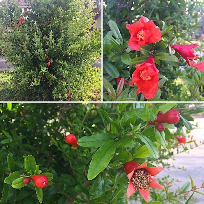 Pomegranate Tree | AZCookbook.com